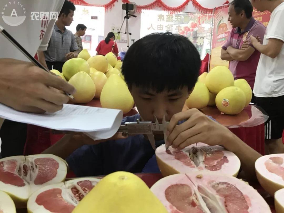 """梅州果农选择""""驮娘柚""""种植方案,实现增产提质"""
