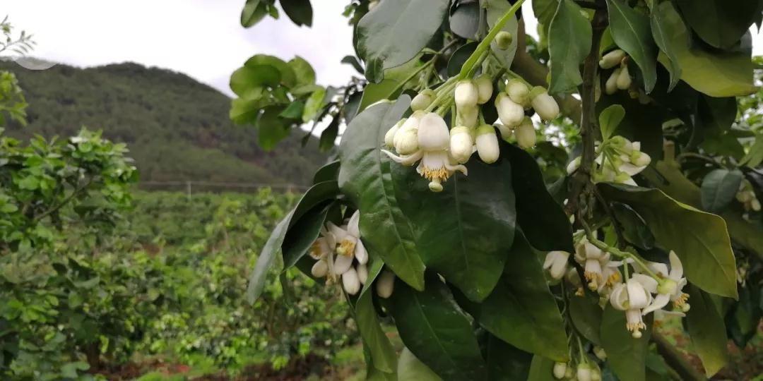 春天里,驮娘柚开花了