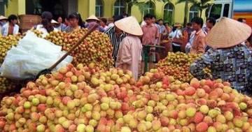 越南小核荔枝长咋样?6成以上出口中国赚外汇!
