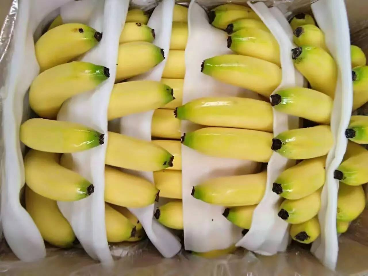 史上最全!香蕉采后储运保鲜管理技术