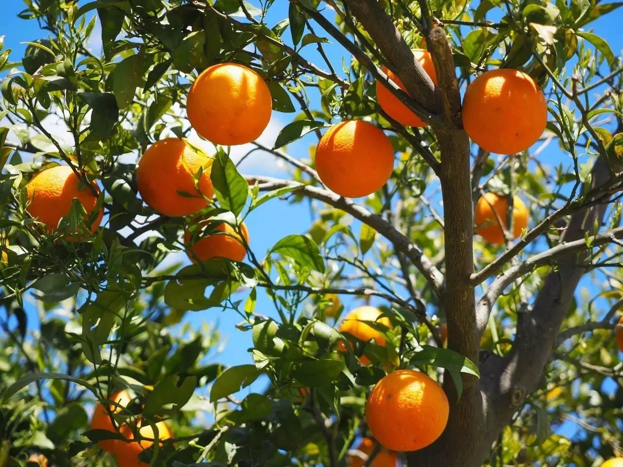 【农财网·柑价】椪柑又涨了,春见价高,其他品种多平稳出