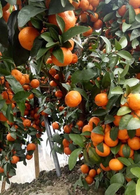 【橘人橘事】卖果收入超350万,这位种橘29年的荔浦果农是如