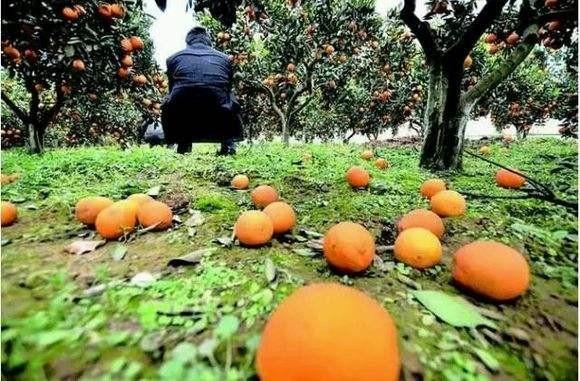 假如你老公是种柑橘的,请一定要支持他!因为……