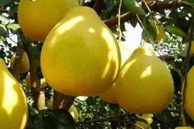 【读者来稿】金柚品质下降的罪魁祸首是单元化肥!你怎么