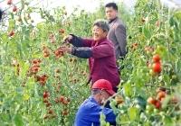 秋植番茄高产栽培要领