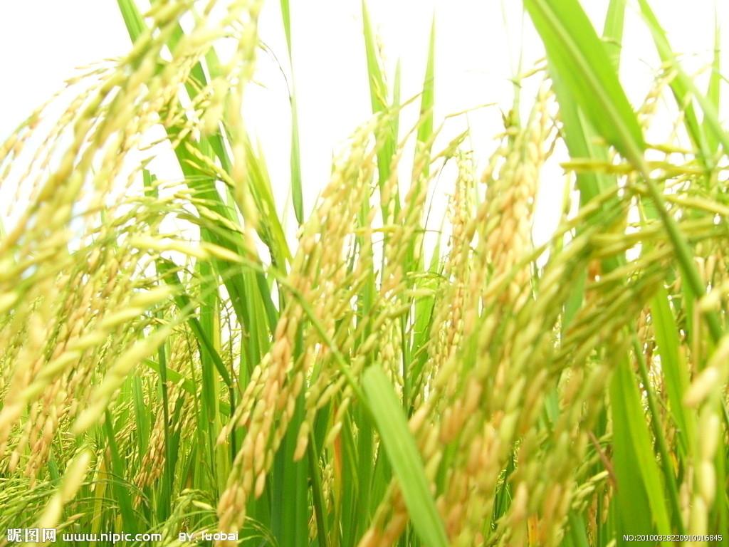 水稻误喷了乙草胺该怎么办?