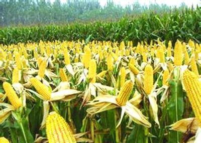 玉米秸秆还田需掌握的五个环节