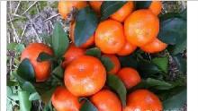 柑桔着色增甜,柑桔主产区老农有妙招!