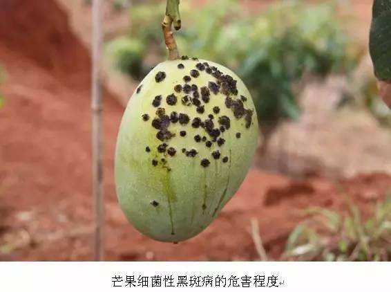 阴雨频繁,芒果细菌性角斑病暴发,哪些药可以用?