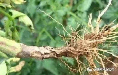 定植后死苗、死棵?高温高湿谨防茎基腐病!