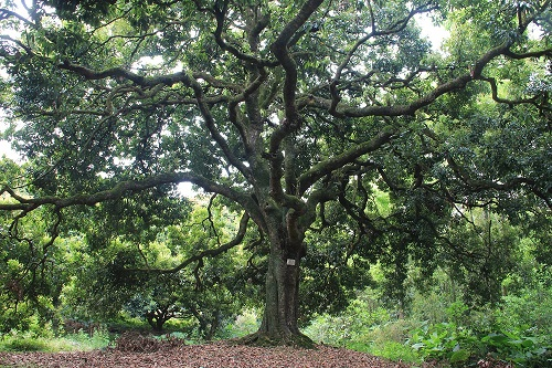 古树新生丨雍正年间栽种的荔枝树生机焕发,结出最具风味的罗浮山古树荔枝即将上市