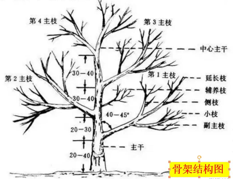 柑橘果树骨架结构图