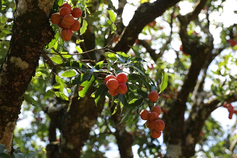 罗浮山下,他们在守护雍正年间栽种的古荔枝树丨返乡青年,农旅结合谱写古树新篇章