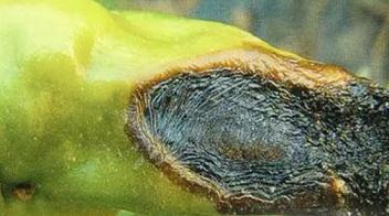 辣椒腐烂,竟是缺钙,如何判断辣椒缺钙?怎么补钙?