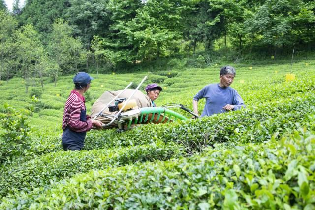 """掌握""""346""""防控方案,种出生态优质茶!"""